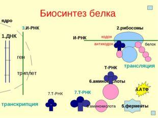 Биосинтез белка 1.ДНК ген триплет ядро 2.рибосомы 3.И-РНК транскрипция И-РНК