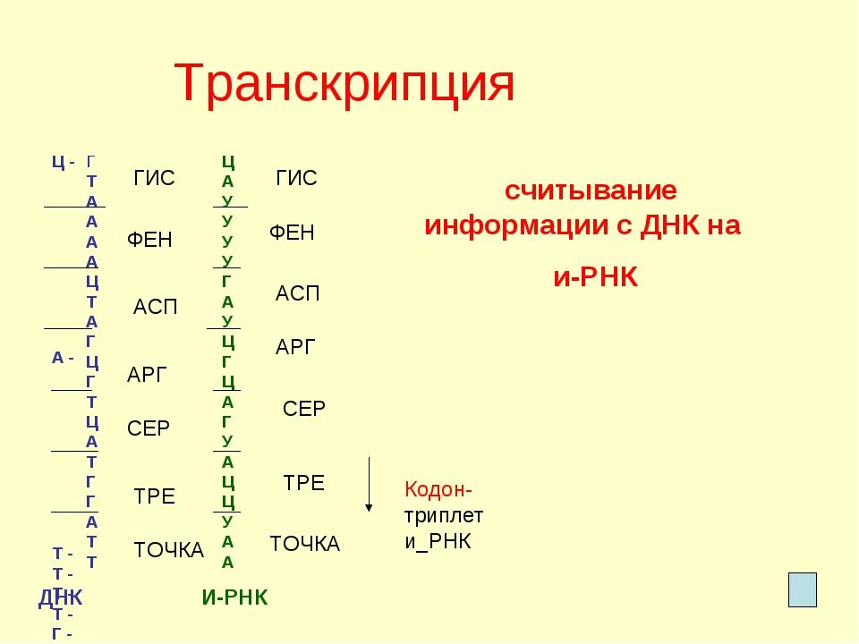 Транскрипция Ц - А - Т - Т - Т - Т - Г - А - Т - Ц - Г - Ц - А - Г - Т - А -...