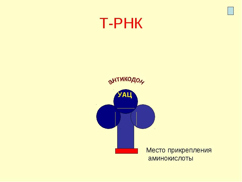Т-РНК УАЦ Место прикрепления аминокислоты