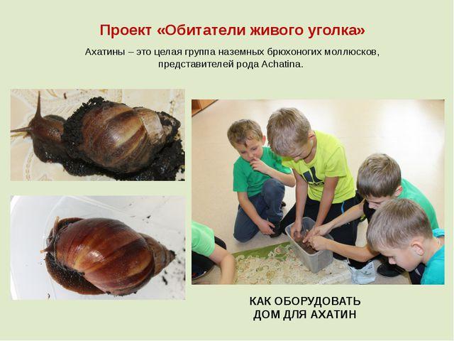 Проект «Обитатели живого уголка» Ахатины – это целая группа наземных брюхоног...