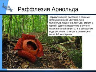 Раффлезия Арнольда паразитическое растение с самыми крупными в мире цветами.