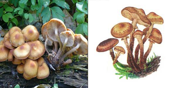 http://www.ecosystema.ru/08nature/fungi/226.jpg