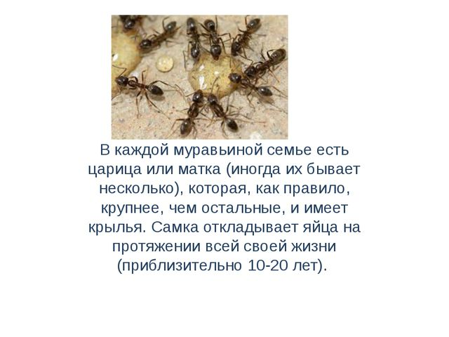 В каждой муравьиной семье есть царица или матка (иногда их бывает несколько),...