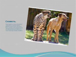 Схожесть. Гепард - это уникальное животное! Ученые относят его к семейству ко