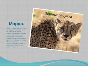 Морда. Морда у гепарда красива и очень своеобразна. От глаз к уголкам рта тян