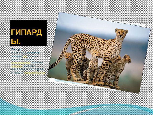 ГИПАРДЫ. Гепа́рд, или(устар.)охотничий леопард(лат.Acinonyx jubatus)— хи...