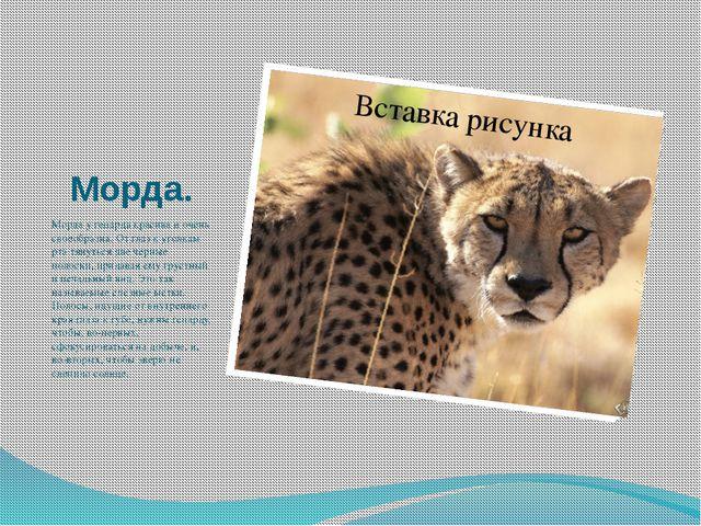 Морда. Морда у гепарда красива и очень своеобразна. От глаз к уголкам рта тян...