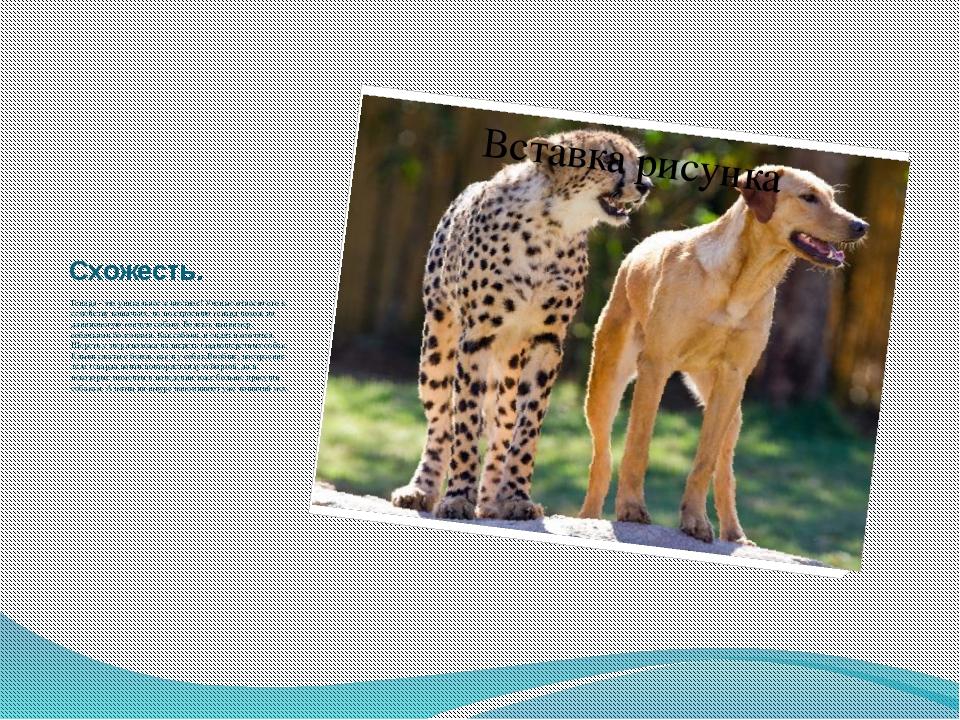Схожесть. Гепард - это уникальное животное! Ученые относят его к семейству ко...
