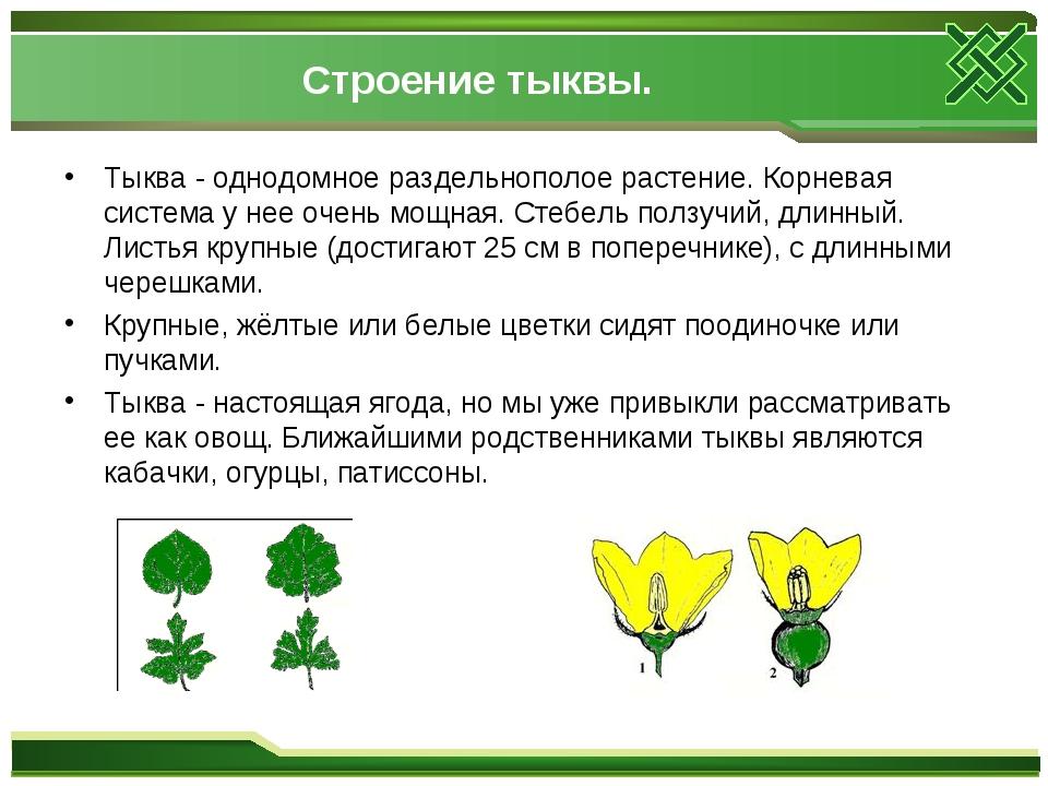 Строение тыквы. Тыква - однодомное раздельнополое растение. Корневая система...