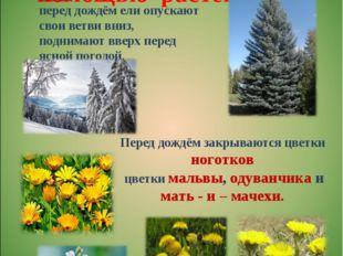 Определение погоды с помощью растений Перед дождём закрываются цветки ноготк