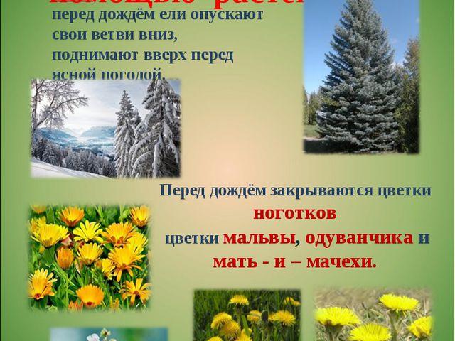 Определение погоды с помощью растений Перед дождём закрываются цветки ноготк...