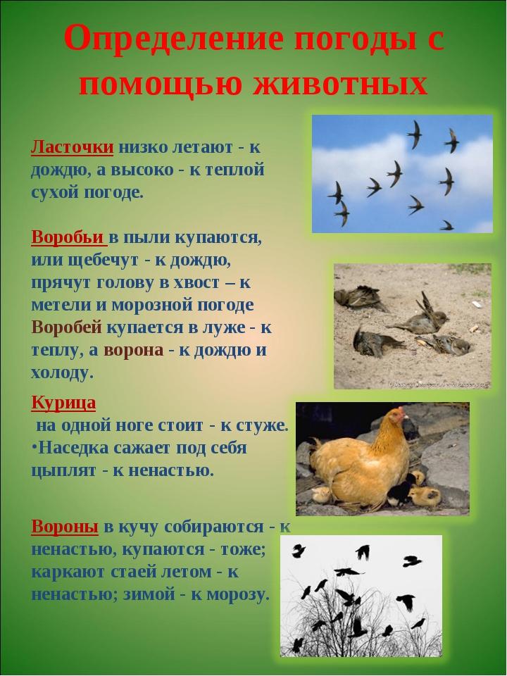 Определение погоды с помощью животных Курица на одной ноге стоит - к стуже. Н...