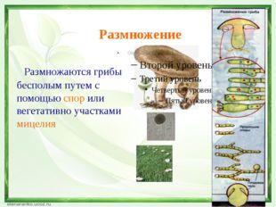 Размножение Размножаются грибы бесполым путем с помощью спор или вегетативно