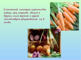 У растений, имеющих корнеплоды, такие, как морковь, свекла и другие, сила тр