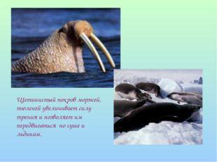Щетинистый покров моржей, тюленей увеличивает силу трения и позволяет им пере