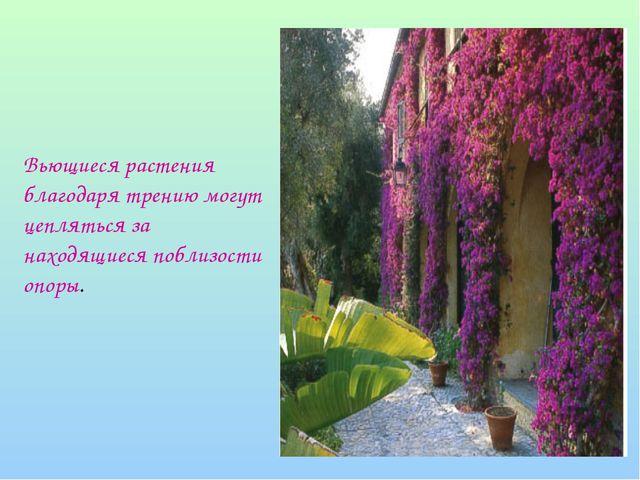 Вьющиеся растения благодаря трению могут цепляться за находящиеся поблизости...
