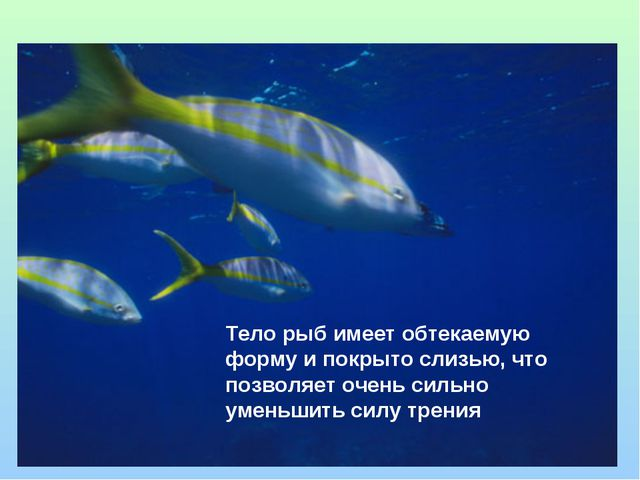 Тело рыб имеет обтекаемую форму и покрыто слизью, что позволяет очень сильно...