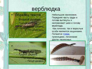 верблюдка Небольшое насекомое. Передняя часть груди и голова вытянуты и напом