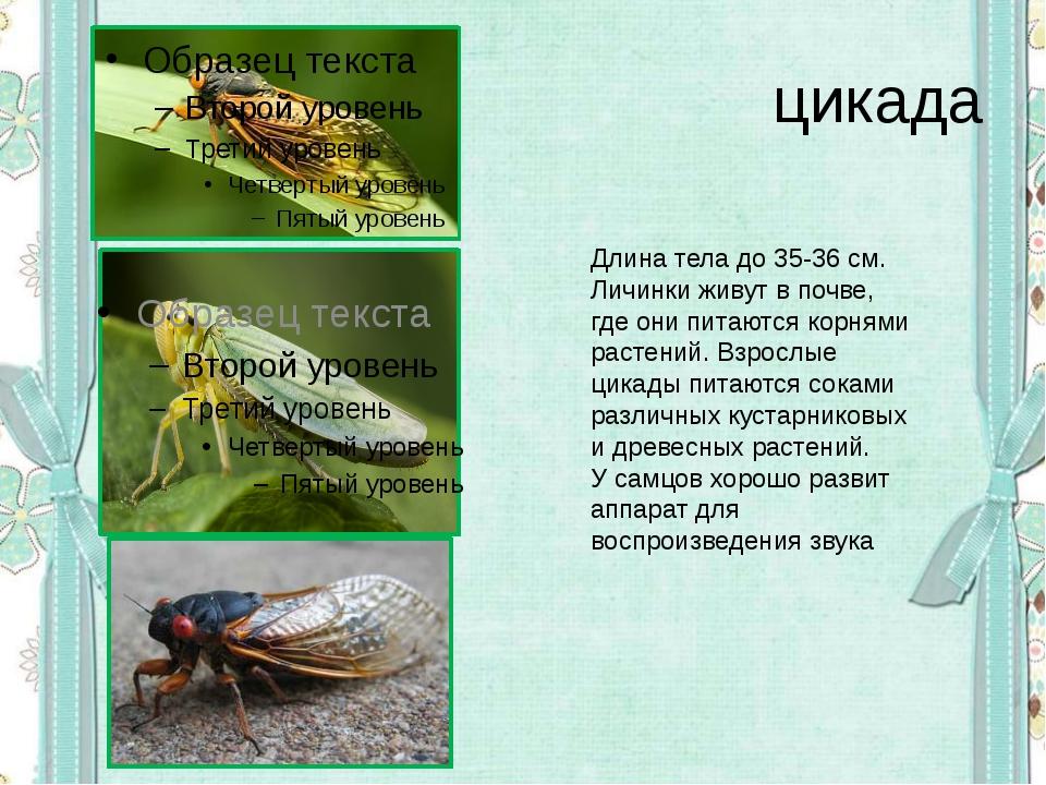 цикада Длина тела до 35-36 см. Личинки живут в почве, где они питаются корням...