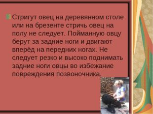 Стригут овец на деревянном столе или на брезенте стричь овец на полу не следу