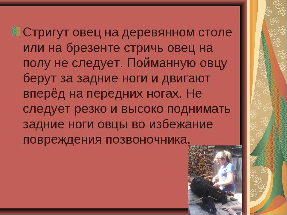 Стригут овец на деревянном столе или на брезенте стричь овец на полу не следу...