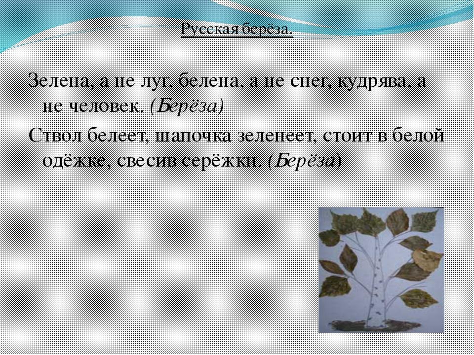 Русская берёза. Зелена, а не луг, белена, а не снег, кудрява, а не человек. (...