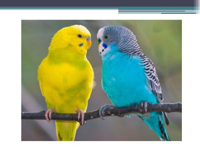 Der Papagei ( die Papageien)