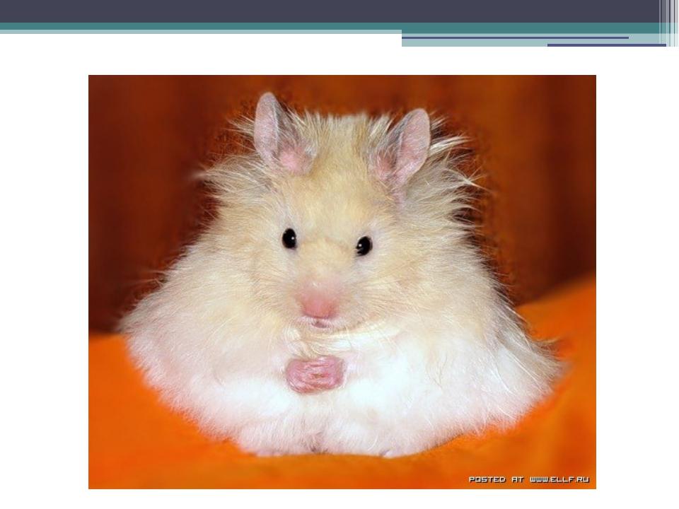 Der Hamster (die Hamster)
