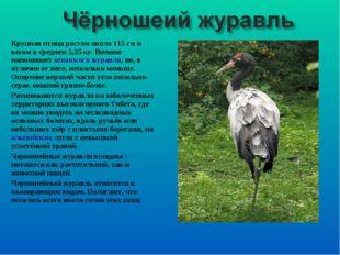Крупная птица ростом около 115 см и весом в среднем 5,35 кг. Внешне напоминае