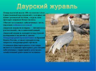 Птица высотой около 190см и весом 5.6кг. Единственный вид журавлей, у котор