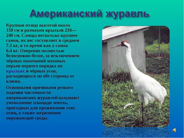 Крупная птица высотой около 150см и размахом крыльев 210—240см. Самцы неско...