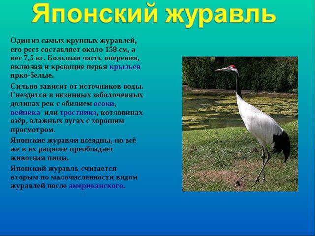 Один из самых крупных журавлей, его рост составляет около 158см, а вес 7,5к...