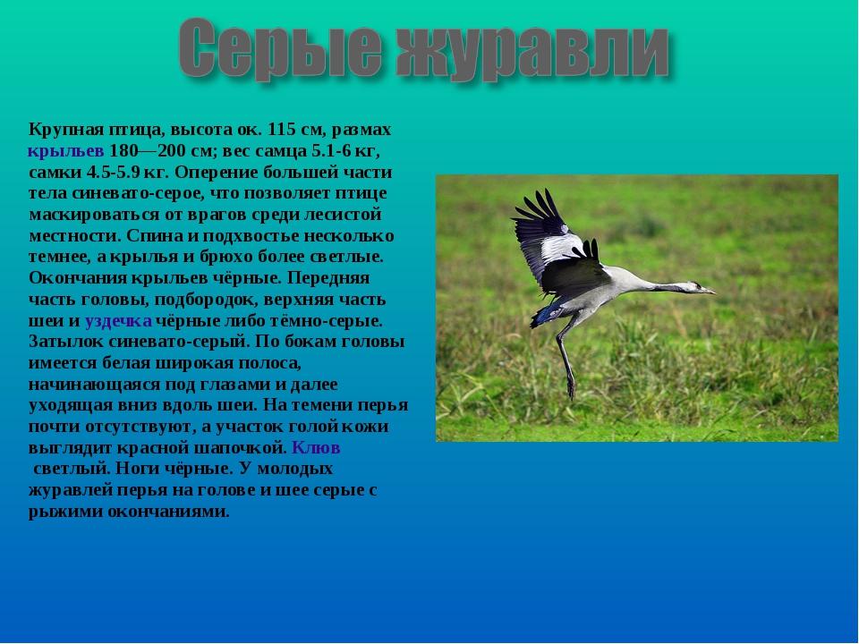 Крупная птица, высота ок. 115см, размахкрыльев180—200см; вес самца 5.1-6...