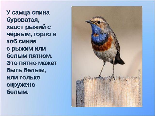 У самца спина буроватая, хвост рыжий с чёрным, горло и зоб синие с рыжим или...