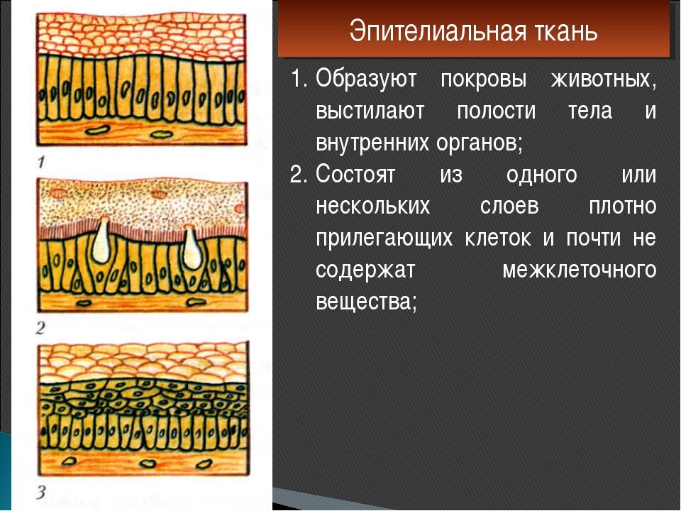 Эпителиальная ткань Образуют покровы животных, выстилают полости тела и внутр...