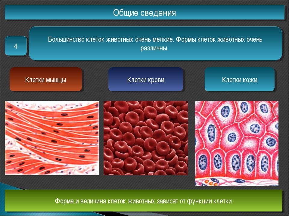 Общие сведения 4 Большинство клеток животных очень мелкие. Формы клеток живот...