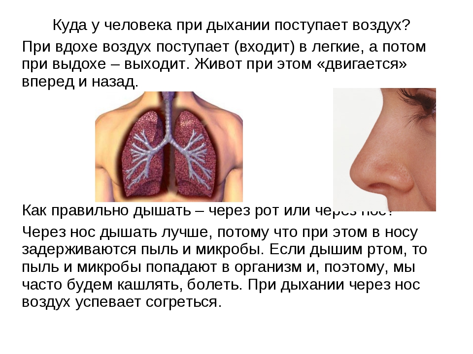 Куда у человека при дыхании поступает воздух? При вдохе воздух поступает (вх...