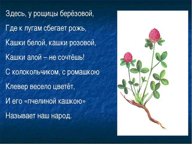 Здесь, у рощицы берёзовой, Где к лугам сбегает рожь, Кашки белой, кашки розов...