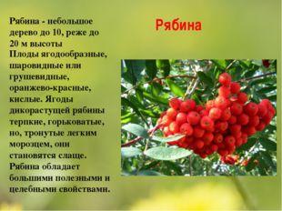 Рябина Рябина - небольшое дерево до 10, реже до 20 м высоты Плоды ягодообразн