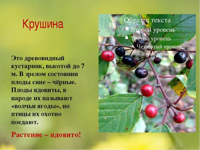 Крушина Это древовидный кустарник, высотой до 7 м. В зрелом состоянии плоды с...