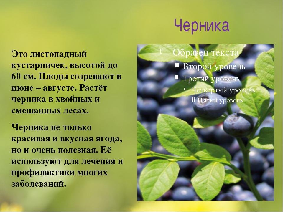 Черника Это листопадный кустарничек, высотой до 60 см. Плоды созревают в июне...