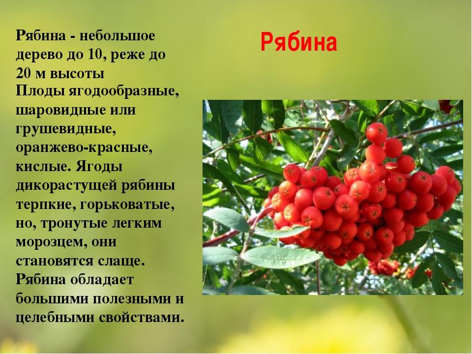 Рябина Рябина - небольшое дерево до 10, реже до 20 м высоты Плоды ягодообразн...