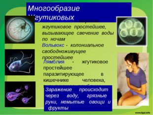Многообразие Жгутиковых Ночесветка - морское жгутиковое простейшее, вызывающе