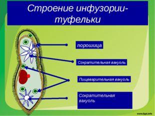 Строение инфузории-туфельки порошица Сократительная вакуоль Сократительная ва