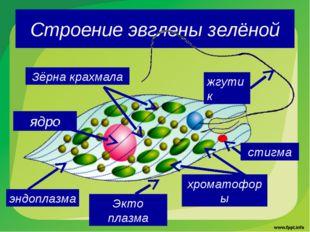 Строение эвглены зелёной жгутик стигма хроматофоры Зёрна крахмала ядро Экто п