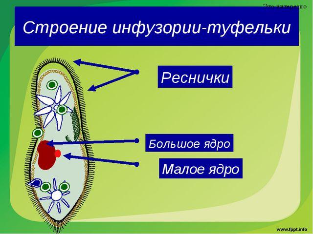 Строение инфузории-туфельки Это интересно Реснички Большое ядро Малое ядро