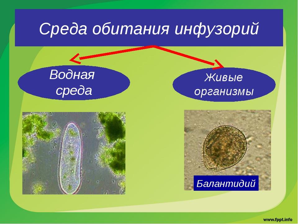Среда обитания инфузорий Водная среда Живые организмы Балантидий