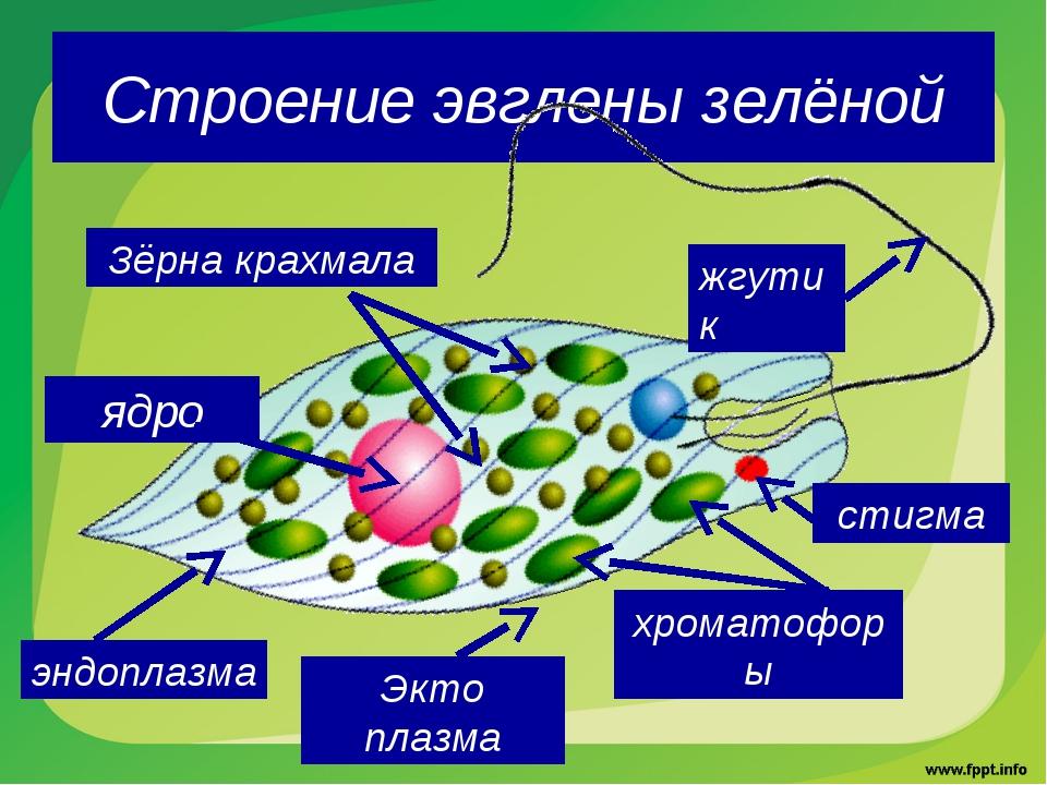 Строение эвглены зелёной жгутик стигма хроматофоры Зёрна крахмала ядро Экто п...