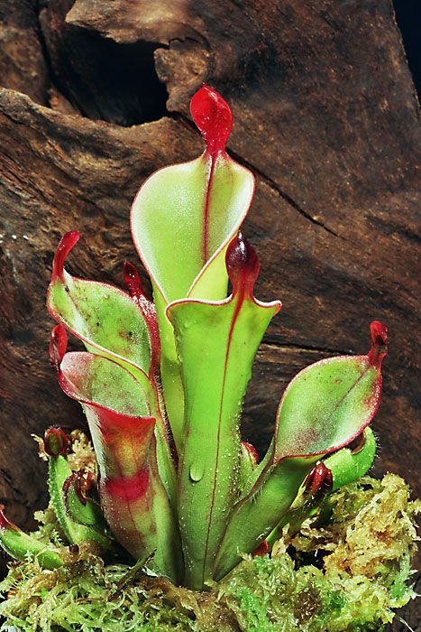 Pitcher Plant Diversity: A Look At 10 Species