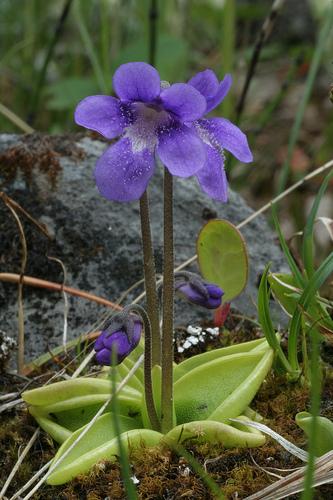 Жирянка (Pinguicula)-род многолетних насекомоядных растений.